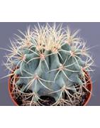 """Kaktusy """"Zelení ježkovia"""""""