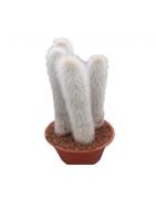Biele kaktusy